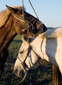 Two horses touching and bonding with each other.