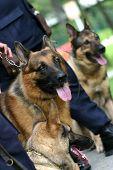 Alsatian police dogs