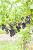 grapes in vineyard (pinot gris), Southern Moravia, Czech Republic