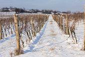 winter vineyard, Southern Moravia, Czech Republic
