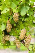 white grapes in vineyard, Southern Moravia, Czech Republic
