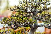pic of bonsai  - Bonsai tree with tiny green leaves - JPG