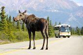 A Moose Blocks the Road