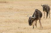 Wildebeests standing
