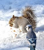 pic of blue jay  - Grey Squirrel standing on the snow eating a nut with a Blue Jay watching - JPG
