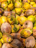 Lots of Coconuts at the coconut farm