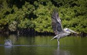 A Pelican Taking Off