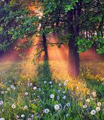 stock photo of wildflower  - The rays of dawn sunlight illuminate the clearing with wildflowers and dandelions - JPG