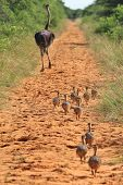 Ostrich - African Wild Bird Background - Running After Mom