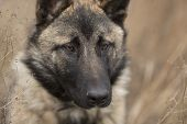 German Shepherd Close-up