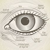 Vector human eye etching with captions. Cornea, iris and pupil