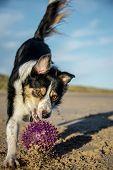 picture of border terrier  - gundog - JPG