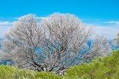 pic of naturalist  - skeleton of burnt shrub above lush green regeneration with ocean behind - JPG