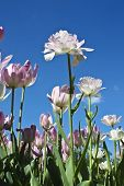 White Tulips On Blue Sky
