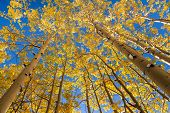 Yellow aspen trees in autumn, Colorado