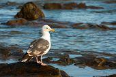 Seagull in southern California coastline