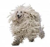 stock photo of standard poodle  - White Corded Standard Poodle running against white background - JPG