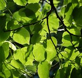 image of linden-tree  - Linden leaves on the tree on a sunny day - JPG