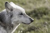Desaturated photograph of North American Gray Wolf, Canis Lupus, with blue eyes