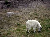 White Mountain Goat With Kid