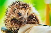 Hedgehog Sitting On Hand In Glove