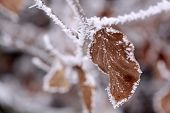 Beech Leaf With Hoarfrost