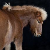Iceland Pony Brown Against Black Background