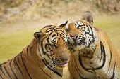 Adult Indochinese tigers rub cheeks.