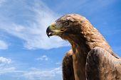 Close-up Portrait Of Big Golden Eagle Over Deep Blue Sky