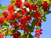 Red Berries In Early Autumn