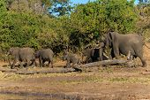 Постер, плакат: Group And Baby Elephant Walking Chobe Botswana Africa