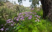 image of may-flower  - Pericallis webbii commonly known as May flower flowering plant native to Gran Canaria flowers in Barranco de Moya - JPG