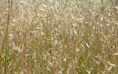 foto of oats  - wild oats in field natural floral background - JPG