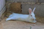 foto of dwarf rabbit  - Beautiful fluffy white rabbit sleep at home - JPG