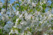 image of orchard  - A blossoming cherry orchard and blue sky - JPG
