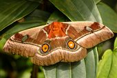 pic of emperor  - Bunaea alcinoe Cabbage tree emperor moth African moth species belonging to the family Saturniidae - JPG