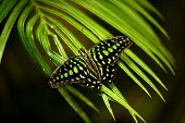 foto of tail  - The tailed jay is a predominantly green and black tropical butterfly that belongs to the swallowtail family - JPG