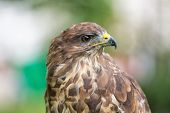 pic of buzzard  - Portrait of an buzzard with blurred green background - JPG