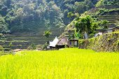 image of rice  - Rice terraces in the Philippines - JPG