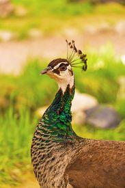 stock photo of female peacock  - Beautiful peacock female in the park - JPG