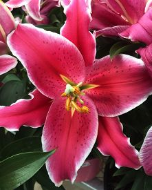 stock photo of asiatic lily  - A red Asiatic Lily blooming in Spring - JPG