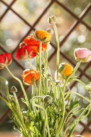 image of buttercup  - Colorful persian buttercup flowers  - JPG