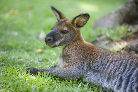 pic of wallabies  - Wallaby sleep on grass in natural park  - JPG