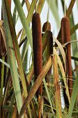 Bulrush or Reedmace