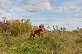 Vizsla Dog In A Field