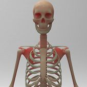 Постер, плакат: Human skeleton