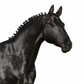 Black horse isolated
