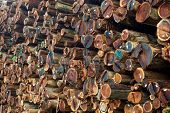 stock photo of mendocino  - A wall of fresh cut and tagged redwood logs at a sawmill in Mendocino County California - JPG