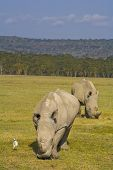 White Rhinos Grazing In Nakuru