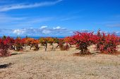 foto of swales  - Autumn apricot orchard on sandy lakeside with blue sky and cloud - JPG